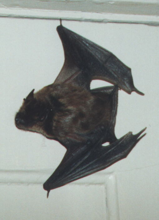 Thora, a female big brown bat that Dr. Austin cared for during the winter of 1996!